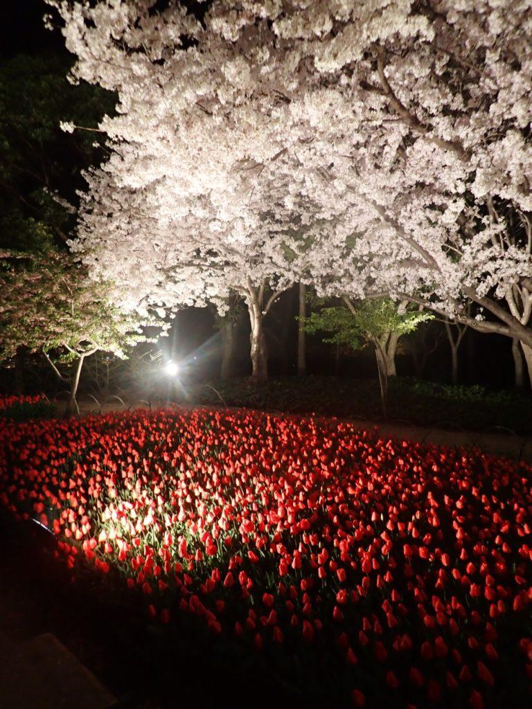 なばなの里,チューリップ,桜,イルミネーション